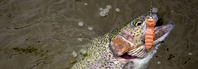 fishup-pupa-trout-640x225.jpg